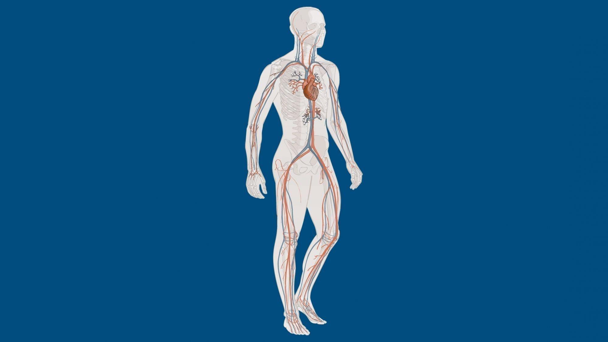 Illustration der Gefässe im Körper eines Menschen.