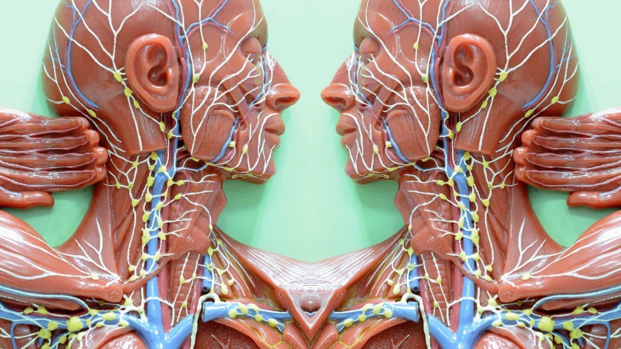 Illustration des Lymphsystems
