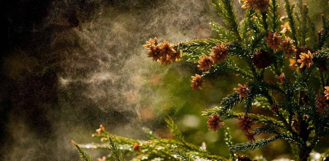 Pollenflug im Frühling löst Heuschnupfen aus