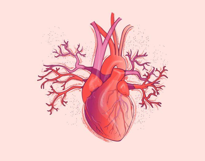 Herzinfarkt bei Frauen: Illustration eines Herzens