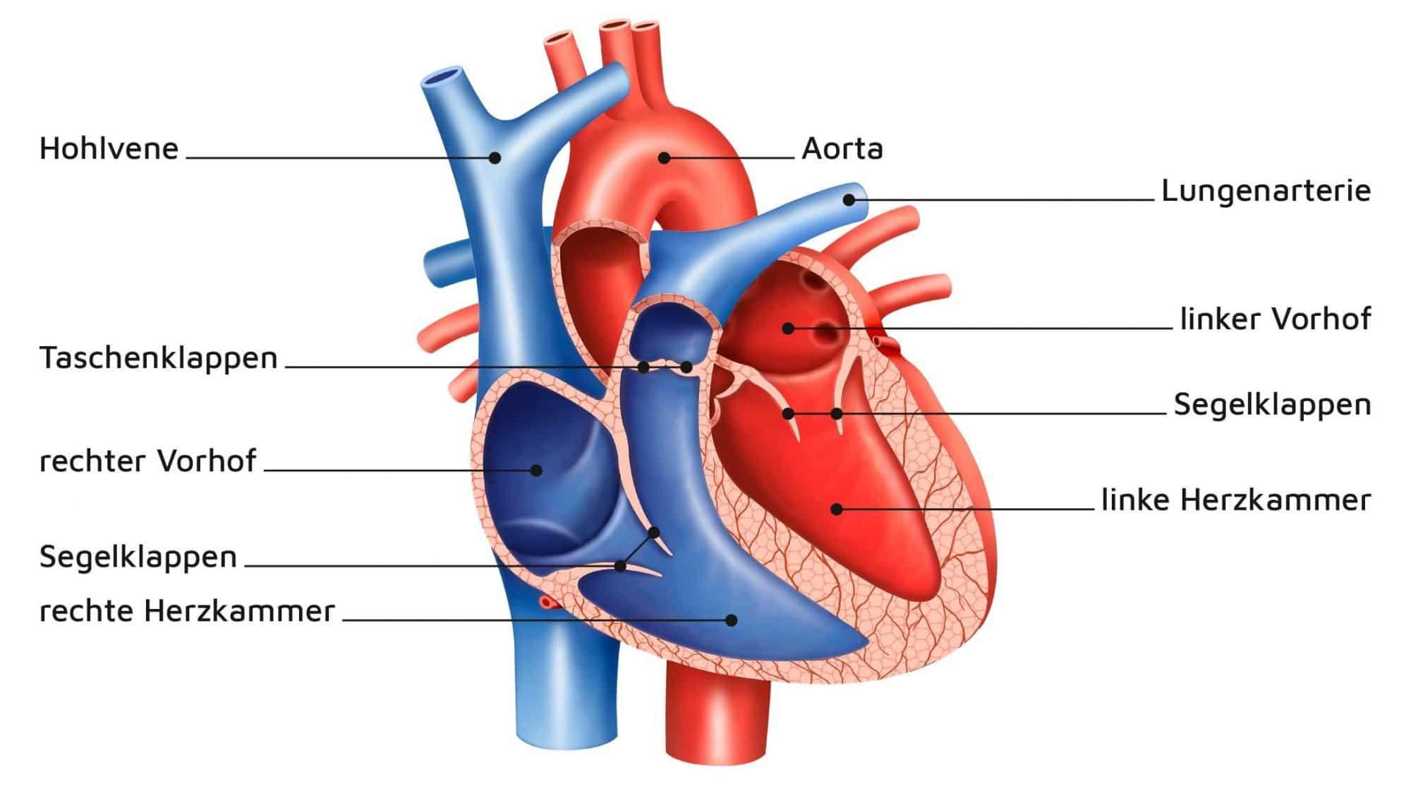 Illustration der Anatomie des menschlichen Herzens.