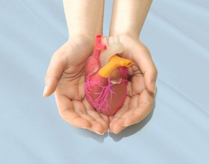 Kunststoffmodell des menschlichen Herzens.