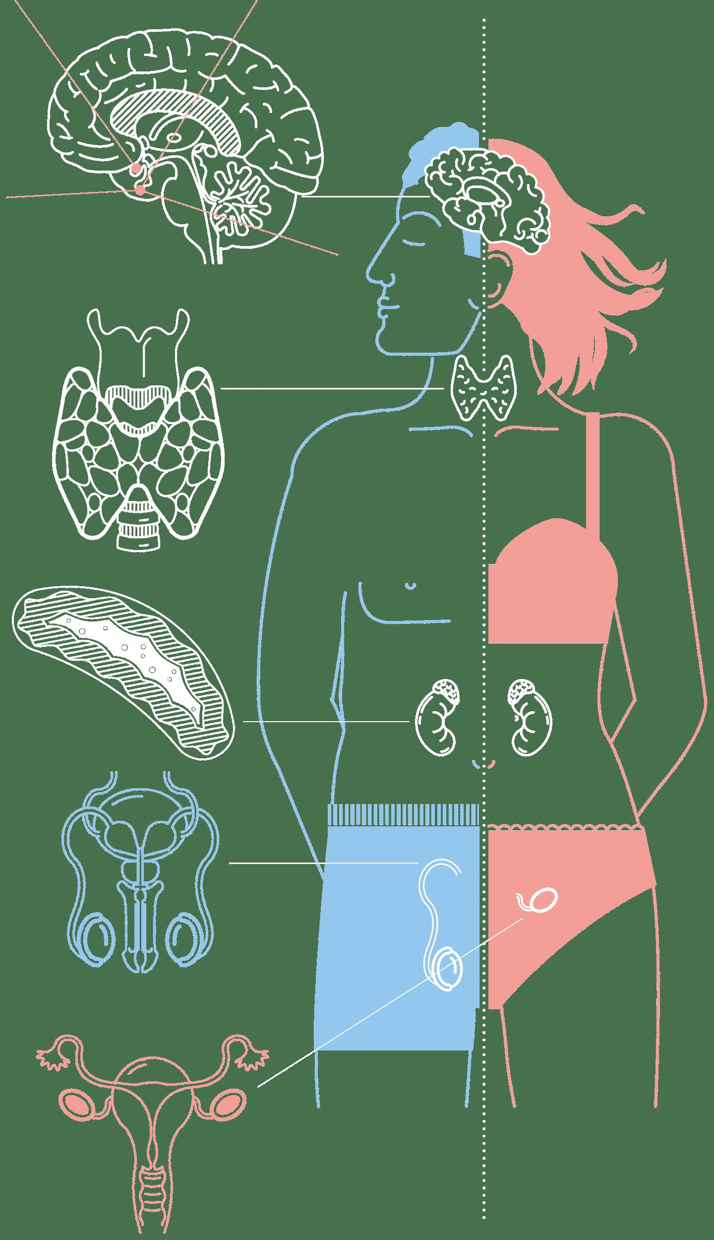 Illustration des menschlichen Körpers